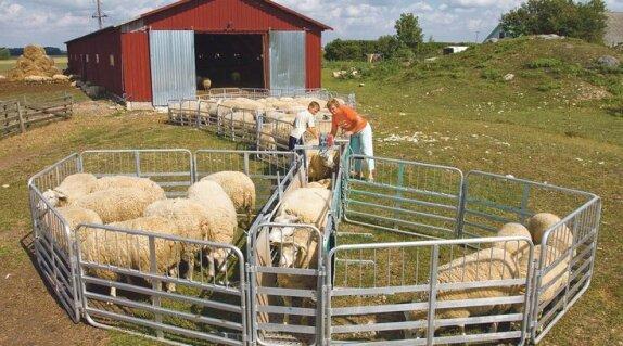 LEADERi abil lõppes lambajaht, meeraiskamine ja käsitsi kurgipesu